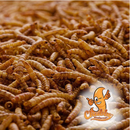 Chubby Mealworms Dried Mealworms