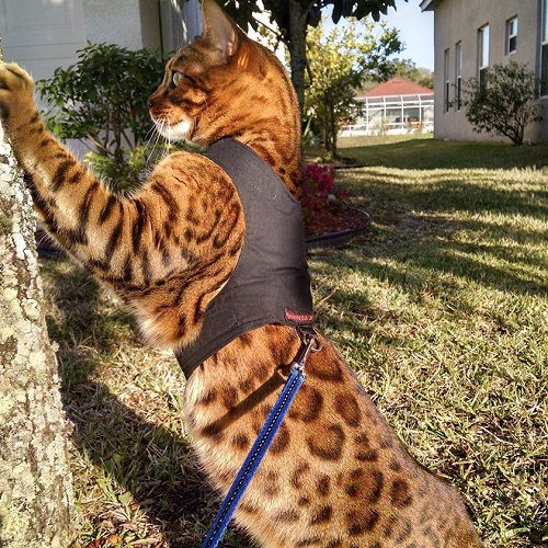 Mynwood Cat Jacket Harness Vest