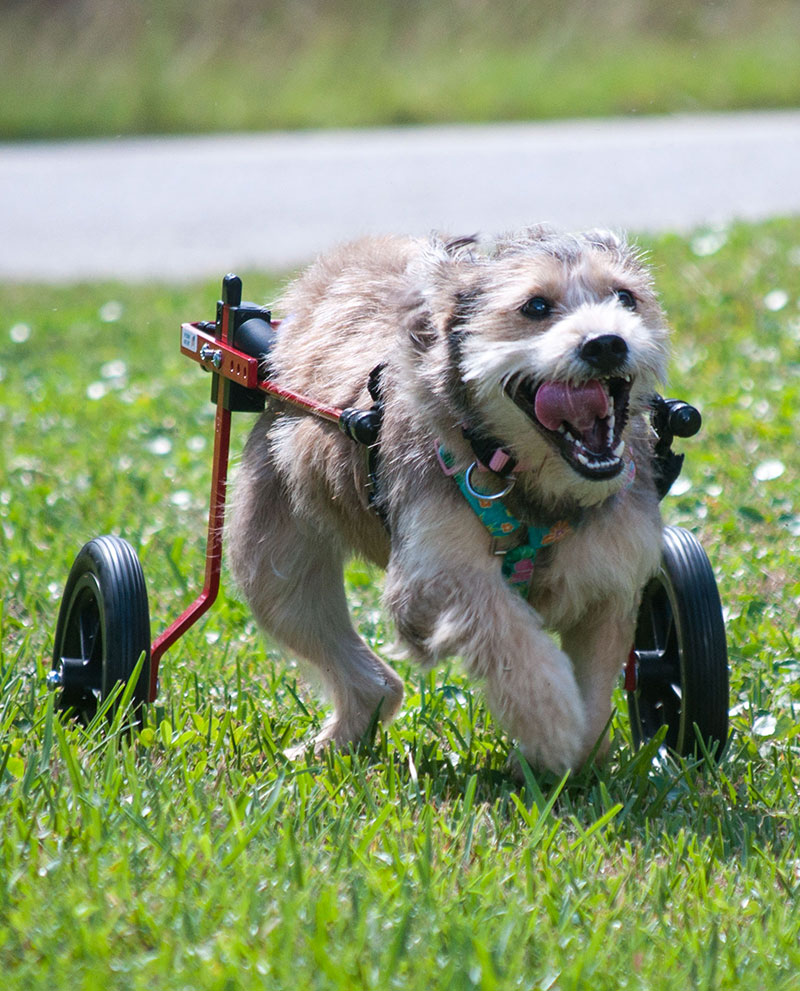 K9 Carts Rear Lightweight Aluminum Support Wheelchair – Available in 4 Sizes & 2 Colors