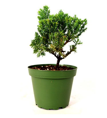 9GreenBox Japanese Juniper Bonsai