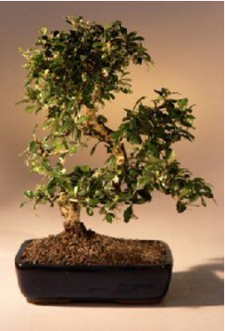 Bonsai Boy Flowering Bonsai Tree
