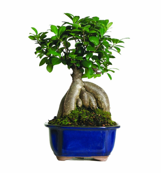 Brussel's Bonsai Ficus Bonsai Tree