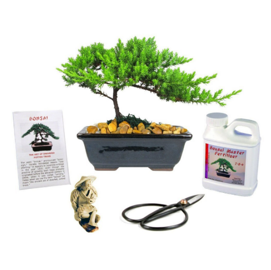 Eve's Garden Small Japanese Juniper Bonsai